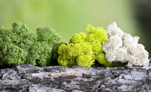 Lichens used in moss walls.
